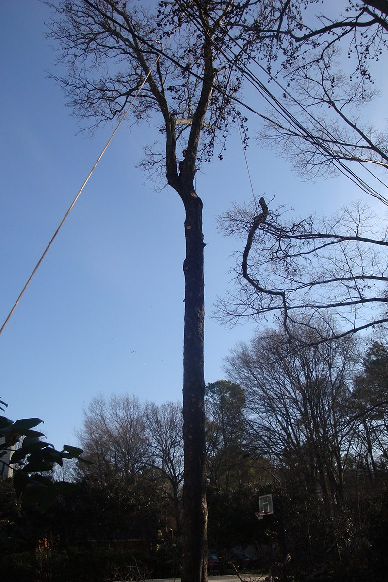 Tree Removal showing the rope & pulley system in order to lower trees safely to the ground and working around the power lines.